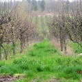 Asian Pear Orchard