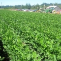 Celery in Puyallup