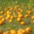 Pumpkins for Market