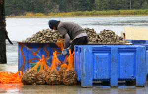 Bagging Oysters at Taylor Shellfish on the Salish Sea