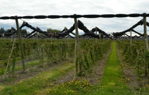 Raspberry plants getting prepared for summer production