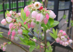 March Blooming Hedge Blueberries