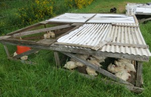 Chicken Tractor with Cornish Cross Meaters