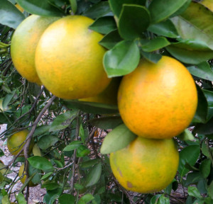 Ripe Oranges in December