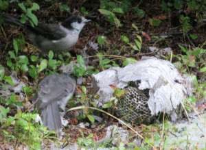 Gray Jays Foraging in a Hive in the William O. Douglas Wilderness