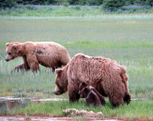 Solo male sauntering by a Momma and her new cubs