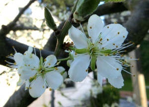 Italian Prune Plum Blossoming in March