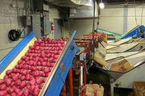 Red Potatoes Being Sorted at Hunts Point