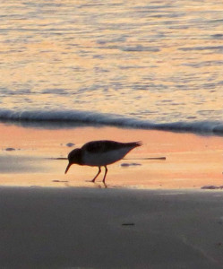 Shorebirds searching for food