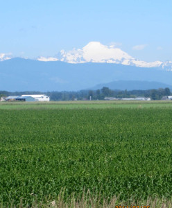 Skagit Farmland with Mt. Baker