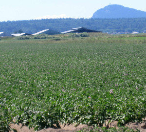 Skagit specialty red potato fields