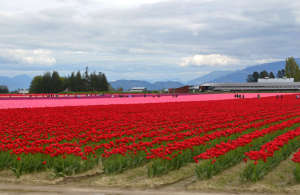 Visitors Enjoying Springtime Tulips in Skagit Valley