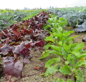 Diversified Cropping at Viva Farms in the Skagit Valley