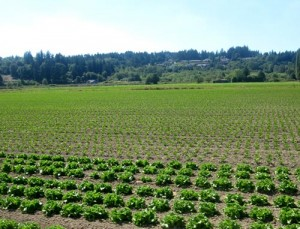 Celery growing in the fertile Puyallup River Valley.