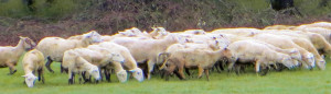 Katahdin Sheep at Ninety Farms