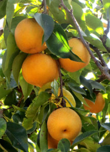 Asian Pears at Rockridge Orchards