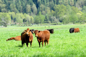 Limousin Cattle on a Snohomish County Farm