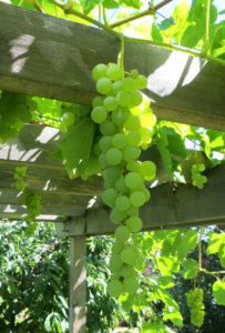 Grapes Growing in my Yard