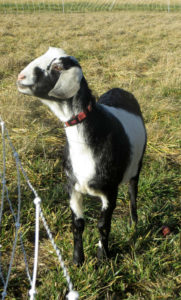 Goat basking in the sun at Cloudview EcoFarm--Columbia Basin