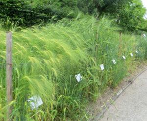 Wheat Varieties at the Munich Botanical Garden
