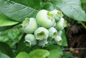 Late May Low-Bush Blueberries