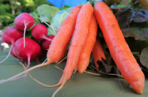 Summer Radishes and Carrots