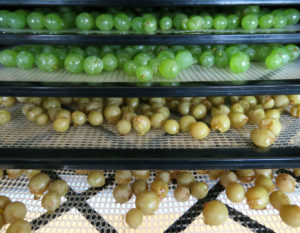 Seedless Interlaken Grapes Drying
