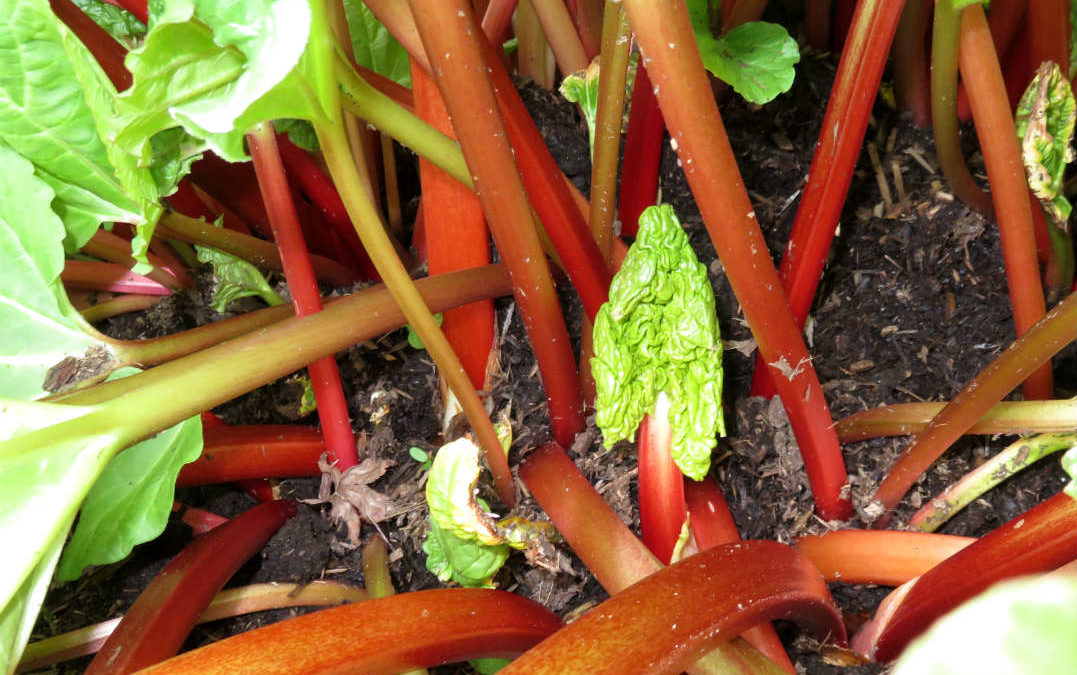 Rhubarb-the quintessential spring food