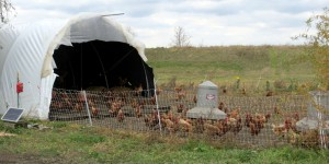 Happy Chickens at Sandhill Family Farms
