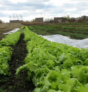 Lettuce Growing in November at Sandhill Family Farms at Prairie Crossing
