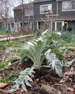 Artichoke at Burke-Gilman Gardens P-Patch Community Garden