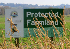 Grains Growing on Protected Farmland in Skagit County