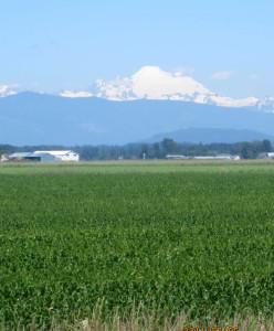Skagit Farmland with Mt. Baker