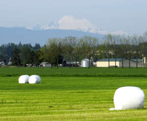 Bucolic Summer Days in the Skagit with Mt. Baker Looming in the Distance