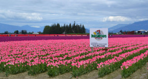 Skagit County is home to the annual April Tulip Festival